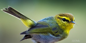 Yellow-throated Woodland Warbler