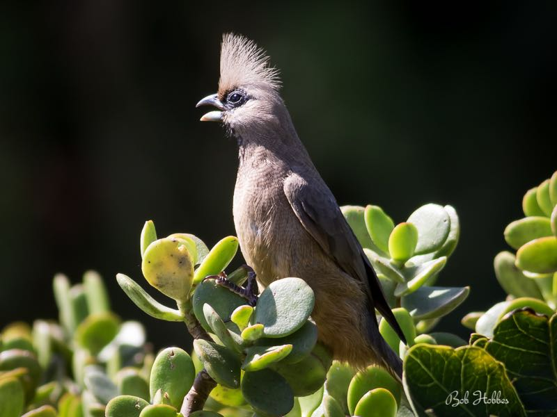 >Speckled Mousebird