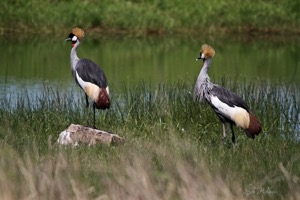 Grey Crowned Crane Oribi