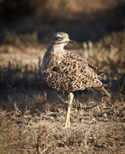 Spotted Thick-knee MountainZebra NP