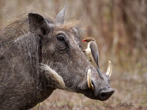 A handsome fellow and Red-billed Oxpecker