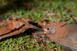 African Hoopoe feeding its youngster