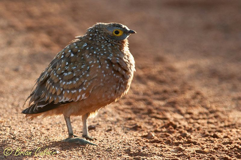 Burchell's Sandgrouse male