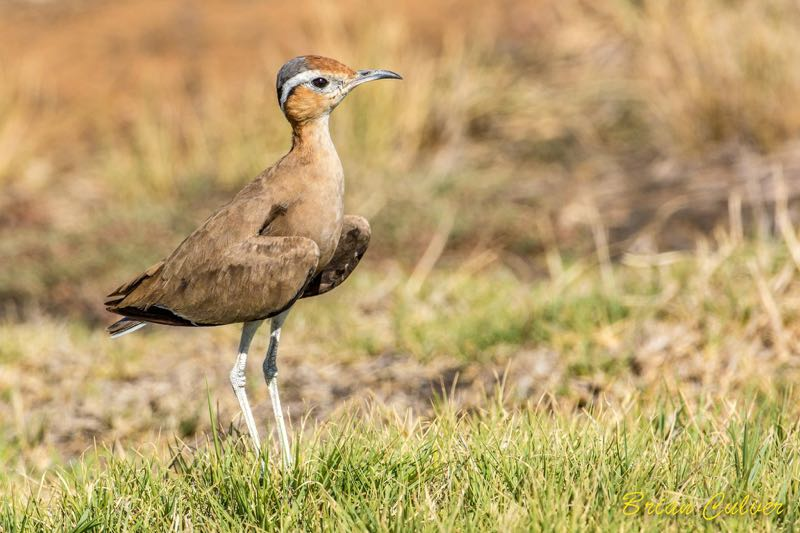 Burchell's Courser