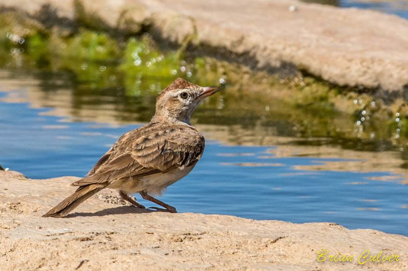 >Red-capped Lark