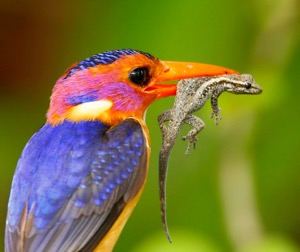 African Pygmy Kingfisher with Gecko