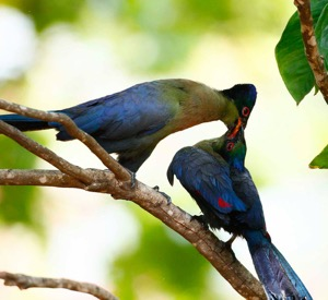 Purple-crested Turaco feeding young