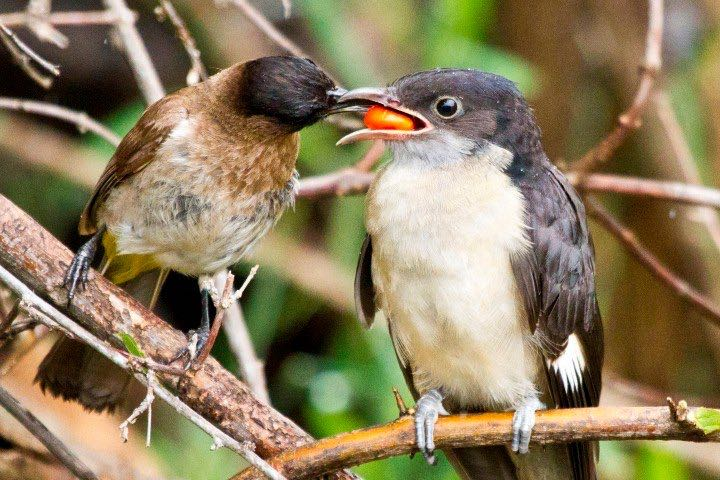 Jacobin Cuckoo fed by a Dark-capped Bulbul