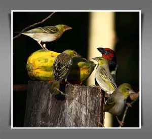 Black-collared Barbet and Village Weavers
