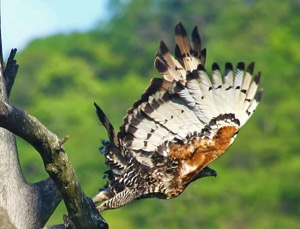 African Crowned Eagle-