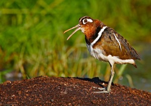 Greater Painted-snipe-