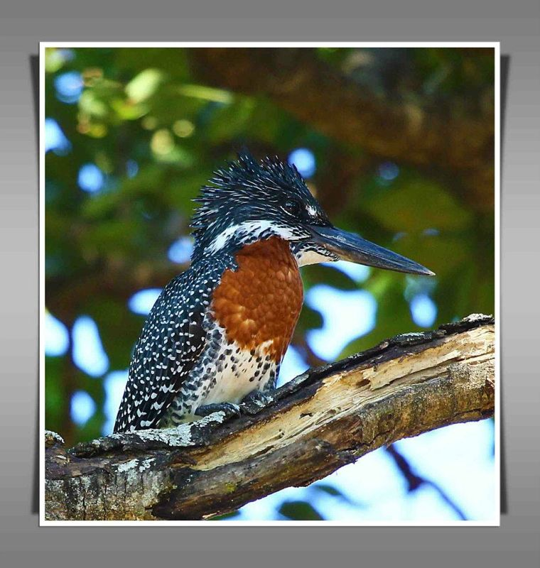 Giant Kingfisher male