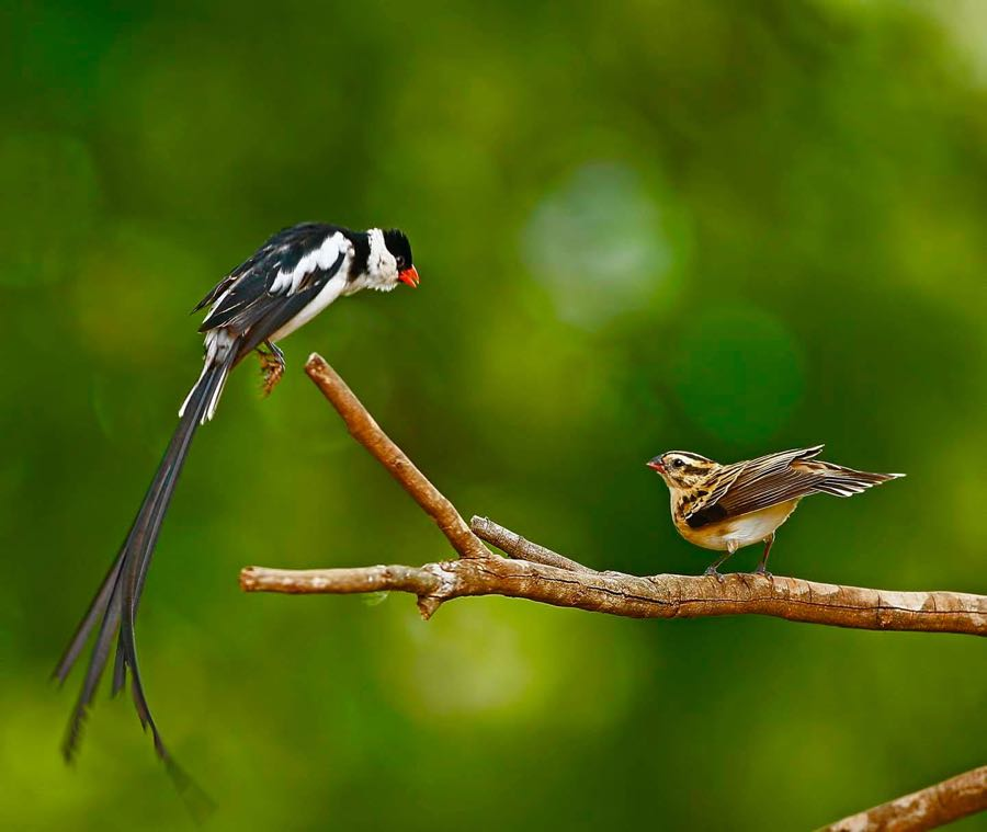 >Pin-tailed Whydah