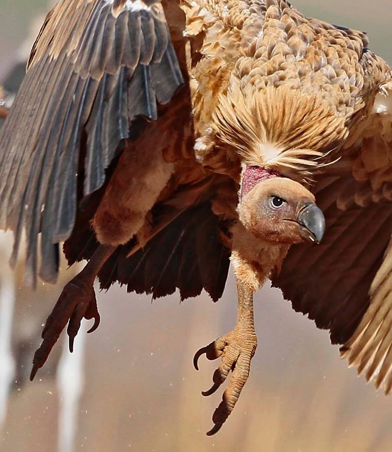 >White-backed Vulture