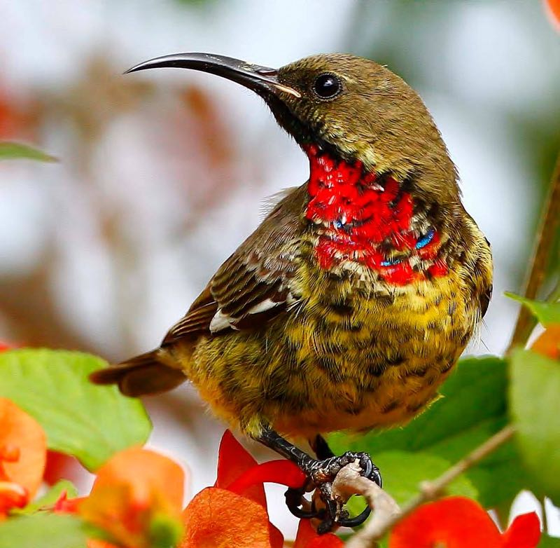 Imm. Scarlet-chested Sunbird