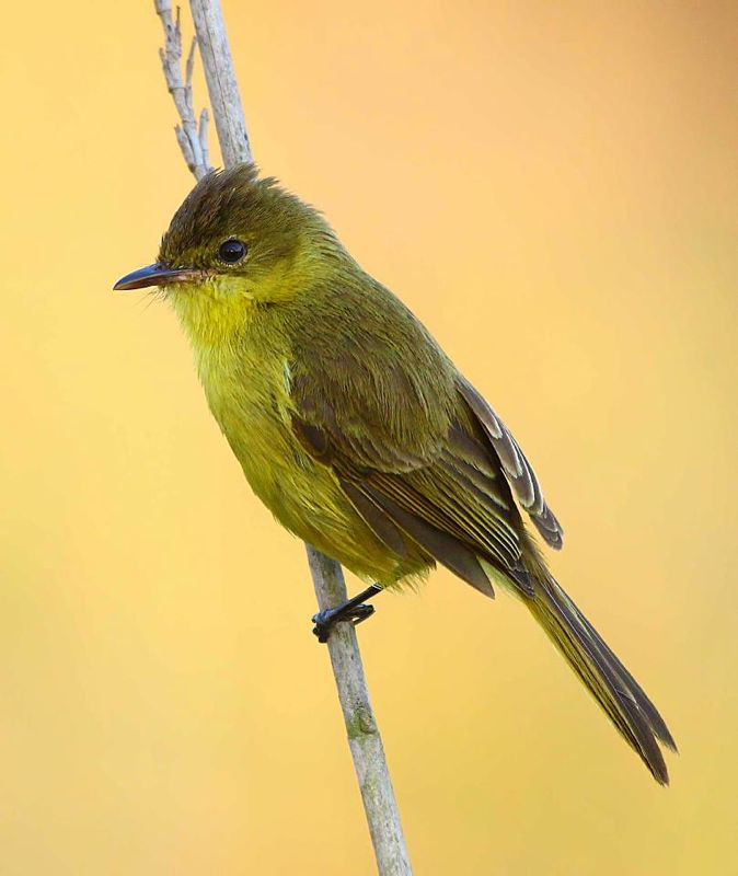 Dark-capped Yellow Warbler