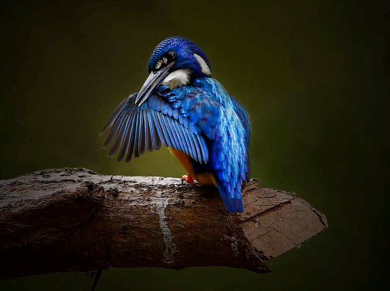 Half-collared Kingfisher