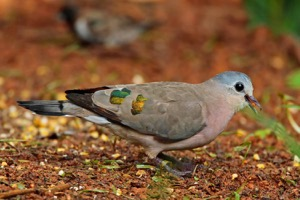 Emerald-spotted Wood Dove