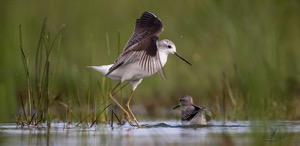 Marsh Sandpiper and Wood Sandpiper