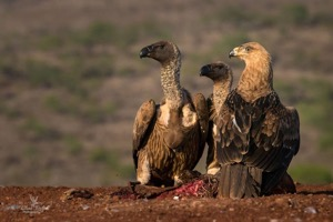 A Tawny Eagle keeps company with 2 White-backed Vultures at the carcass.