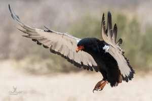 Bateleur Eagle comes in for the perfect landing