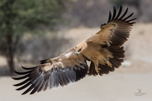 The wingspan of a Tawny Eagle