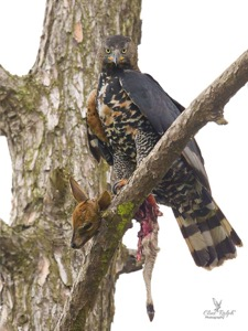 African Crowned Eagle with its kill