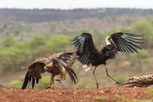 Tawny Eagle and Woolly-necked Stork