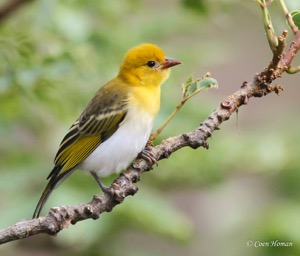 Female Red-headed Weaver