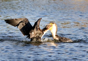White-breasted Cormorant feeding her young