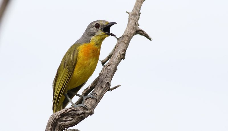 Orange-breasted Bush-Shrike imm