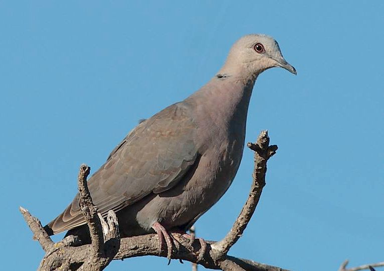 Red-eyed Dove juv