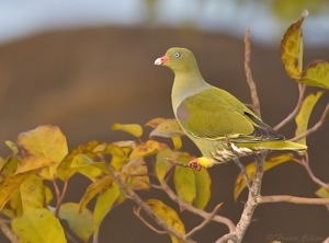 African Green-Pigeon