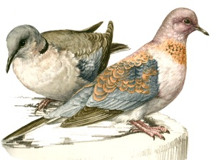 Laughing Dove and Cape Turtle-Dove