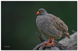 Red Billed Spurfowl