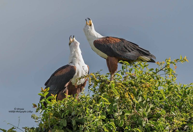 African Fish-Eagle -The call of Africa