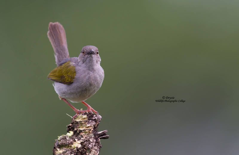 Grey-backed Camaroptera