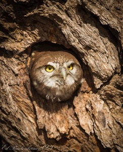 Baby Pearl-spotted Owlet