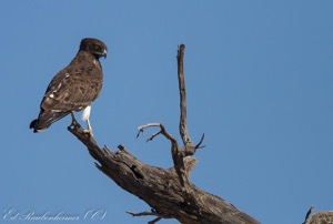 Black-chested Snake-Eagle