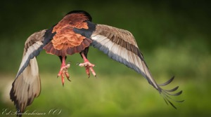 Fly Away Bateleur