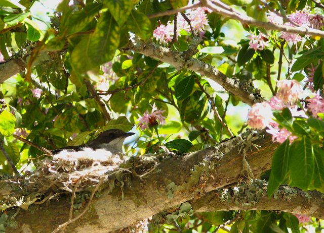 Fiscal Flycatcher on nest in Pompom Tree