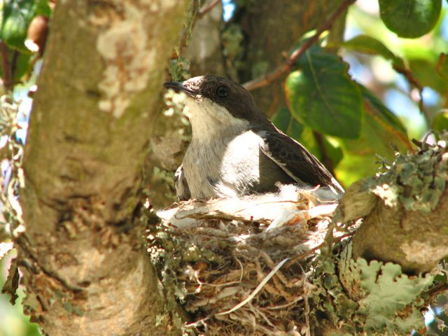 Fiscal Flycatcher on her nest