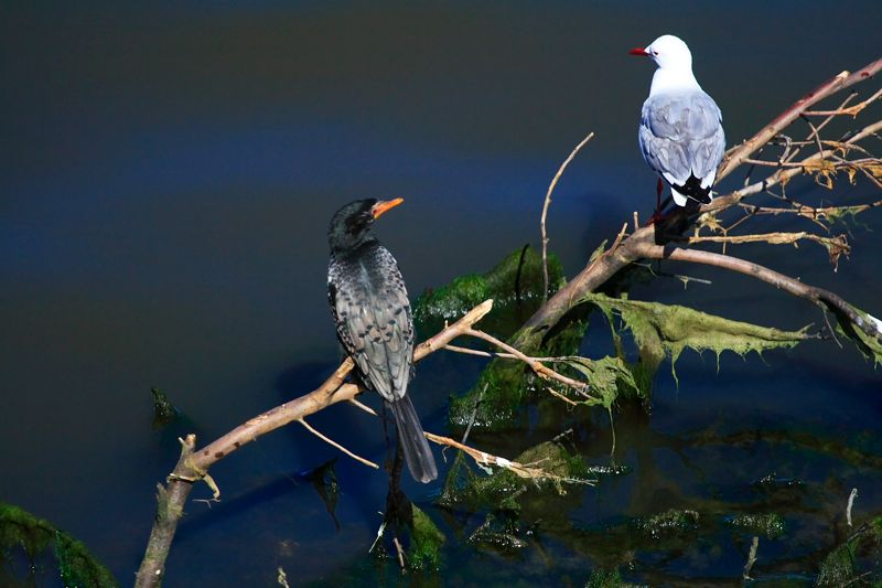 Reed Cormorant and Hartlaub's Gull