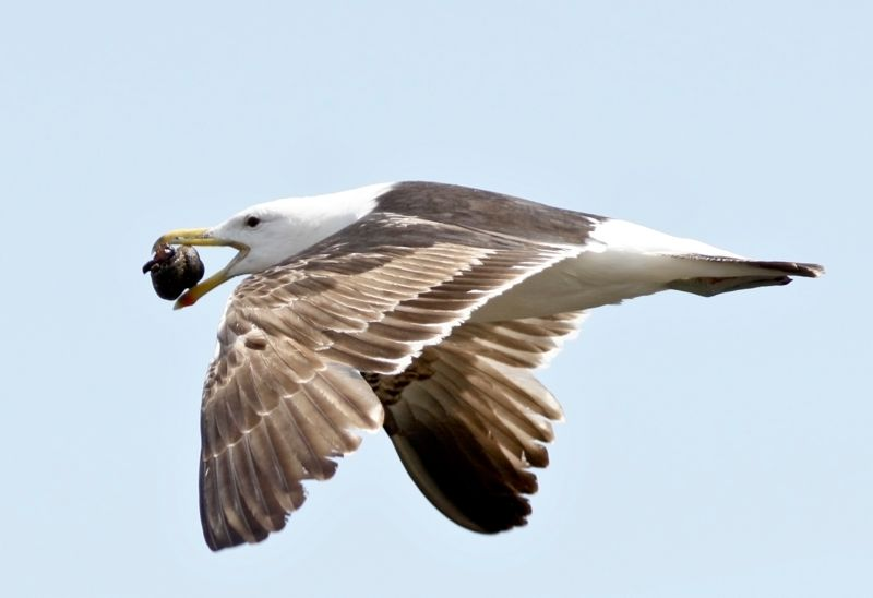 Juvenile Kelp Gull learns how to open tyhe hard shell of molluscs