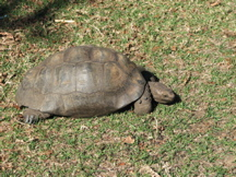 A large tortoise