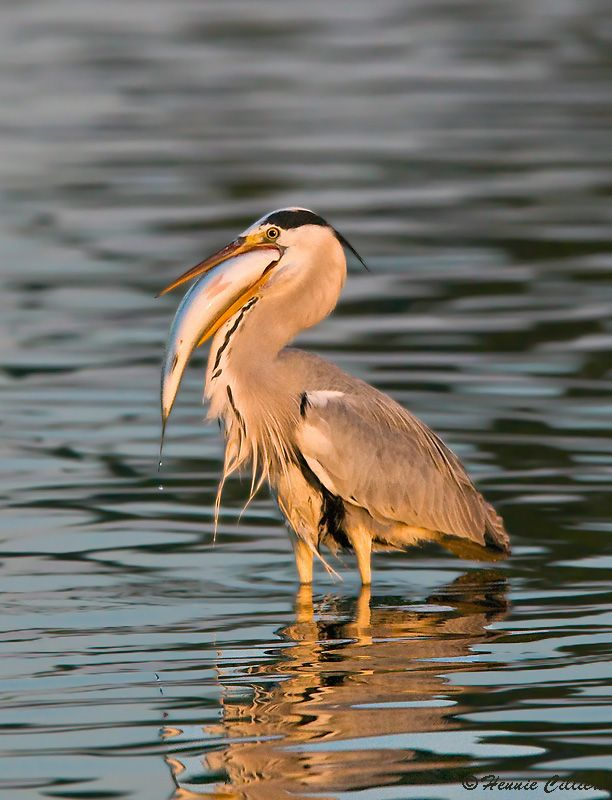 Grey Heron with huge fish