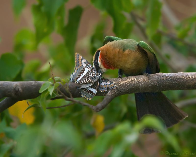 White-fronted Bee-eater with butterfly