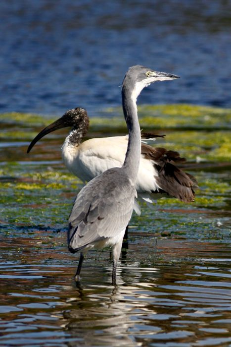Black-headed Heron juv and Sacred Ibis