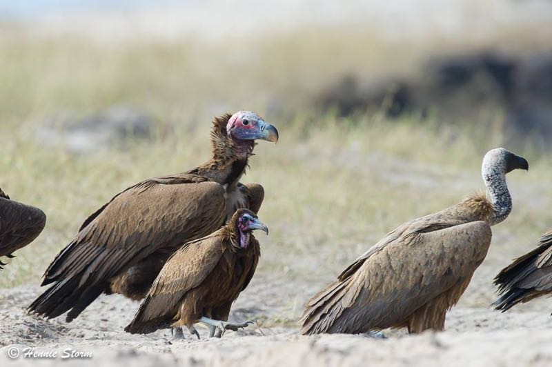 Lappet-faced,White-backed and Hooded Vulture