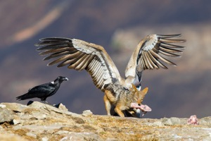 Jackal, White-necked Raven and Cape Vulture competing for a bone